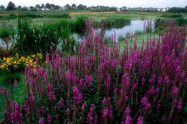 Image result for wetland plants in landscaping